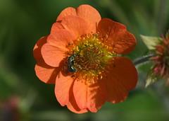 Green bee (KsCattails) Tags: bee flower green kathrynkennedy kscattails nature overlandparkarboretum sweatbee metallic shiny