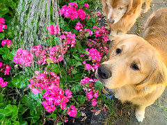 Watering the Flowers (bztraining) Tags: bzdogs bztraining golden retriever henry toby 3652019 odc dogchal