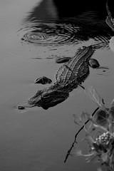 Sanibel Gator (wales23us) Tags: alligator sanibelisland florida