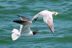 Laughing Seagull & Royal Tern Inflight - Aerial Combat (dbadair) Tags: outdoor seaside shore sea sky water nature wildlife 7dm2 7d ii ef100400mm ocean canon florida bird