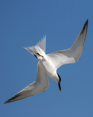 Sandwich Tern Diving (dbadair) Tags: outdoor seaside shore sea sky water nature wildlife 7dm2 7d ii ef100400mm ocean canon florida bird