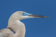 Hybrid Heron - Egret Closeup (dbadair) Tags: outdoor seaside shore sea sky water nature wildlife 7dm2 7d ii ef100400mm ocean canon florida bird