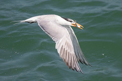 Royal Tern Catching (dbadair) Tags: outdoor seaside shore sea sky water nature wildlife 7dm2 7d ii ef100400mm ocean canon florida bird