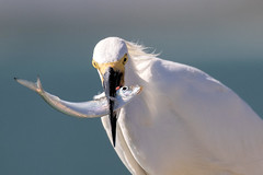 Snowy Egret Catching (dbadair) Tags: outdoor seaside shore sea sky water nature wildlife 7dm2 7d ii ef100400mm ocean canon florida bird