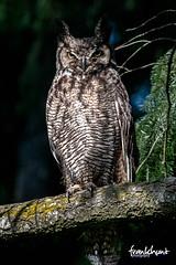 (fh.hillsboro) Tags: birds greathornedowl