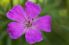 Fridays For Future (AnyMotion) Tags: fridaysforfuture cranesbill storchschnabel geranium blossom blüte petals blütenblätter bokeh macro makro plants pflanzen 2019 anymotion nature natur blumen floral flowers frankfurt 6d canoneos6d garden garten colors colours farben pink rosa green grün makroaufnahmen spring frühling primavera printemps ngc npc