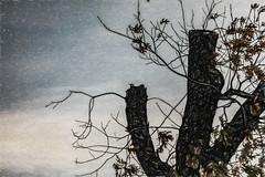 Night Settles In (p) (davidseibold) Tags: america animal bird california cloud jfflickr painting photosbydavid plant postedonflickr postedonmewe redding shastacounty sky tree unitedstates usa wildlife