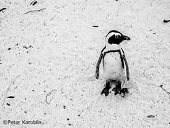 South Africa - penguin all alone (peterkaroblis) Tags: southafrica capepeninsula brillenpinguin penguin spheniscusdemersus beach strand schwarzweiss blackandwhite