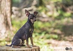 Sage comme une image (Philippe Bélaz) Tags: ooligan pragois ratierdeprague animauxdecompagnie assis bois brun chiens chocolat forêts vert