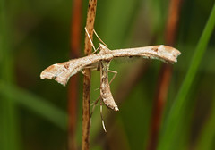 plume moth (Johnson Cameraface) Tags: 2019 may spring olympus omde1 em1 micro43 mzuiko 60mm macro f28 johnsoncameraface pottericcarrnaturereserve yorkshirewildlifetrust southyorkshire doncaster plumemoth moth ywt