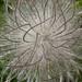 Pulsatilla seedhead fluffy