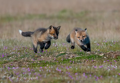 The Chase is On (~ Bob ~) Tags: kits mother fox nikon foxkit amazing mammal d500 foxy wildlife wildlifephotography nikond500 amazingnature feisol foxlove tongue kit foxesofinstagram nature cute