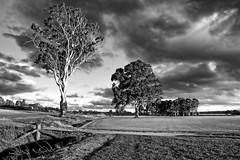 Gum tree. (Ian Ramsay Photographics) Tags: camden newsouthwales australia gumtree