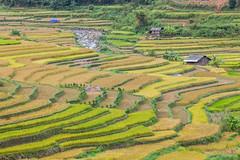 _J5K2693.0918.Lìm Mông.Cao Phạ.Mù Cang Chải.Yên Bái (hoanglongphoto) Tags: asia asian vietnam northvietnam northwestvietnam northernvietnam landscape scenery vietnamlandscape vietnamscenery terraces terracedfields seasonharvest house homes mucangchailandscape canon tâybắc yênbái mùcangchải lìmmông caophạ phongcảnh ruộngbậcthang lúachín mùagặt mùcangchảimùalúachín mùcangchảimùagặt nhưngngôinhà sườnđồi curve đườngcong canoneos1dsmarkiii canonef200mmf28liiusm hillside