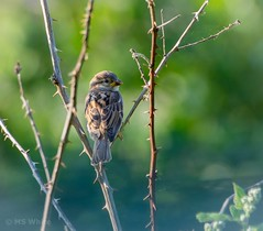 """Nature's Beauty amongst the thorns. (Picture-Perfect Pixels) Tags: feathers britishcolumbia vancouverisland saanich backyard bird sparrow """"exploremay31 2019"""""""