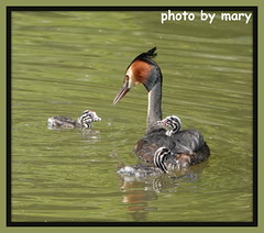 Great crested grebe (maryimackins) Tags: great crested grebe spring family wildlife kent mary mackins