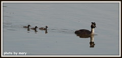 Great crested grebe (maryimackins) Tags: