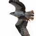 DSC_4040.jpg Osprey, Harkins Slough