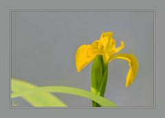 Tout simplement !! (thierrymazel) Tags: fleurs flowers bokeh pdc dof profondeurdechamp jaune yellow