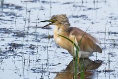 heron crabier chevelu (Ardeola ralloides) (leadrien0) Tags: crabier oiseaux heron chevelu bourget lac observatoire aigrettes ardeola ralloides