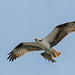 DSC_3974.jpg Osprey, Harkins Slough