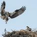 DSC_4058.jpg Osprey nest, Harkins Slough