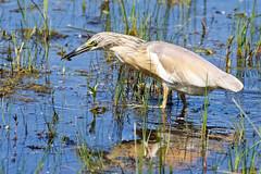 heron crabier chevelu (Ardeola ralloides) (leadrien0) Tags: crabier heron oiseaux chevelu bourget lac observatoire aigrettes ardeola ralloides