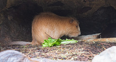 BeverRatJong (Borreltje.com) Tags: amsterdam artis animas zoo dierentuin natgeoyourshot natgeowild animalplanet