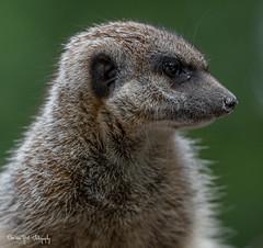 Meerkat2 (Borreltje.com) Tags: amsterdam artis animas zoo dierentuin natgeoyourshot natgeowild animalplanet