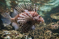 LionFish (Borreltje.com) Tags: amsterdam artis animas zoo dierentuin natgeoyourshot natgeowild animalplanet