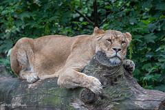 Lioness3 (Borreltje.com) Tags: amsterdam artis animas zoo dierentuin natgeoyourshot natgeowild animalplanet