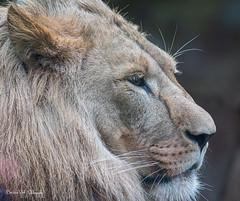 Lion (Borreltje.com) Tags: amsterdam artis animas zoo dierentuin natgeoyourshot natgeowild animalplanet