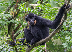 GoudwangGibbon1 (Borreltje.com) Tags: amsterdam artis animas zoo dierentuin natgeoyourshot natgeowild animalplanet