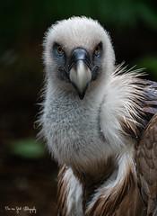 Vulture1 (Borreltje.com) Tags: amsterdam artis animas zoo dierentuin natgeoyourshot natgeowild animalplanet