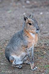 PatagonianMara (Borreltje.com) Tags: amsterdam artis animas zoo dierentuin natgeoyourshot natgeowild animalplanet