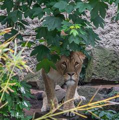 Lioness2 (Borreltje.com) Tags: amsterdam artis animas zoo dierentuin natgeoyourshot natgeowild animalplanet