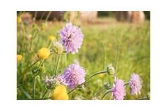 Am Wegrand (balu51) Tags: morgenspaziergang wegrand wildblumen blumen blüten skabiosen violet grün dotterblumen gelb frühling mai 2019 copyrightbybalu51