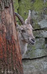 Alpensteenbok2 (Borreltje.com) Tags: amsterdam artis animas zoo dierentuin natgeoyourshot natgeowild animalplanet