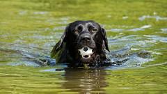 Football rescue (uwe.kast) Tags: labrador labradorretriever labradorredriver hund haustier dog football rescue wasser water panasonic g9 100300
