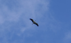 Ooievaar (~~Nelly~~) Tags: mechelen planckendael ooievaar cigogne stork