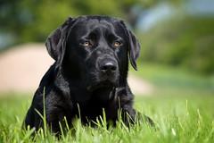Bichou (uwe.kast) Tags: labrador labradorretriever labradorredriver hund haustier dog black bokeh panasonic g9 gras 100300