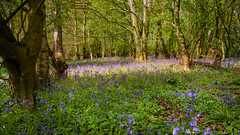 Bluebells carpet a forest floor (Stephen_Lavery) Tags: bloom blue bluebell bluebells branch copse environment flower foliage forest grass ground landscape lush natural nature nopeople season shadow springtime sunny sunshine tree treetrunk twig undergrowth weed wildflower