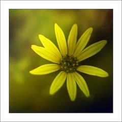 Yellows (Francisco (PortoPortugal)) Tags: 1012019 20190510foli0994l macro helios442 natureza nature flor flower flora amarelo yellow quadrada square