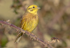 JWL9047  Yellowhammer.. (Jeff Lack Wildlife&Nature) Tags: yellowhammer yammer farmland forest finch finches forests forestry birds bird avian animal animals wildlife wildbirds wetlands woodlands wildlifephotography jefflackphotography woodland woods glades grasslands heathland hedgerows heathlands heaths trees bushes nature moorland meadows moors