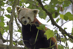Kleiner roter Panda - Little red panda (heinrich.hehl) Tags: natur fauna tier roterpanda baum blätter tierpark animalpark leaves tree redpanda animal nature