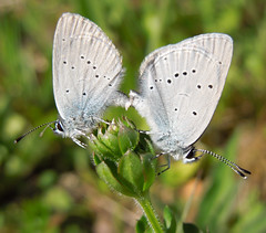 Small Blue butterflies (pair), Croydon, May 2019 (roger.w800) Tags: butterfly croydon lwt londonwildlifetrust hutchinsonsbank