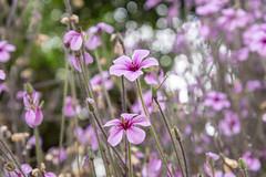 Pretty small purple flower - geraniums (Merrillie) Tags: bokeh natural flora nature gardens purple flowers pretty flower geranium petals delicate