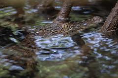 Crocodile (Crocodylus) species (Jono Dashper Wildlife) Tags: crocodile crocodylus species reptile herp animal wild wildlife nature canon 1dx 500mm 2018 jonodashper jonathondashper naturephotography wildlifephotography