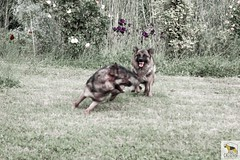 German Sherherd (Allevamento Casa Caligiani) Tags: pastoretedesco germanshepherd schäferhund gsd dog cane natura umbria bevagna italia