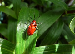"Lily Beetles (Martellotower) Tags: insects ""lily beetles"""